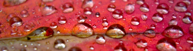 Gift of the day: raindrops on gumleaf
