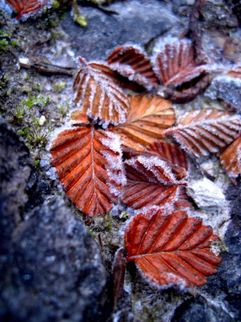 Frosted myrtle leaves