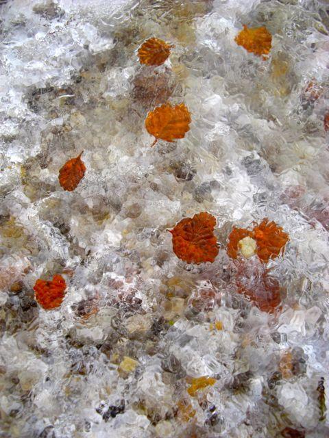 Frozen myrtle leaves