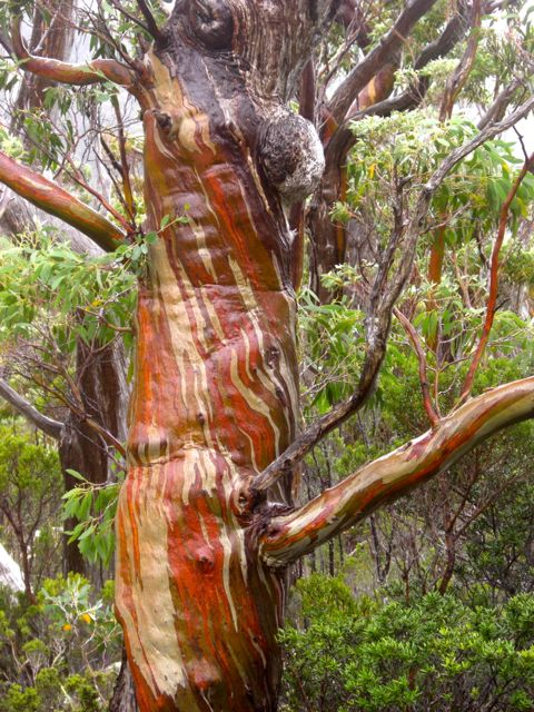 Beautiful snow gums as you get higher