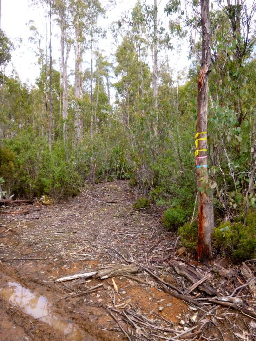 The brightly taped tree, marking the track start