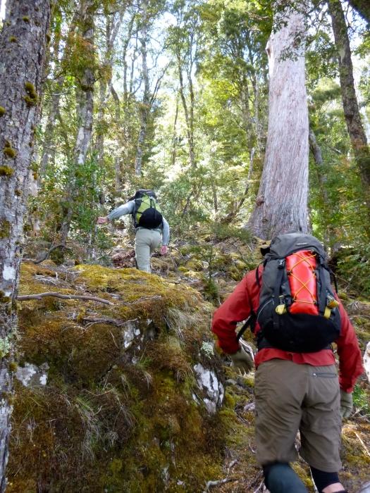 Heading up to Lanes Peak through myrtle forest