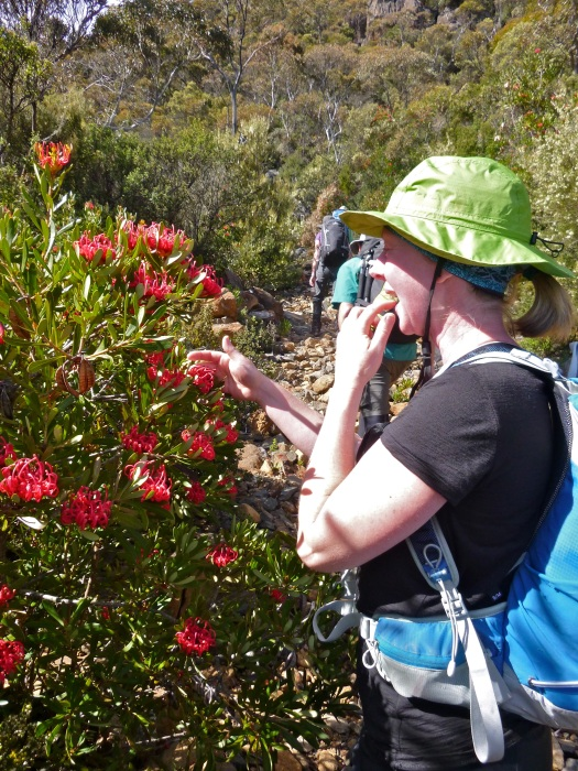 Enjoying the taste of Waratah dew on the way up. Sweet and yummy!