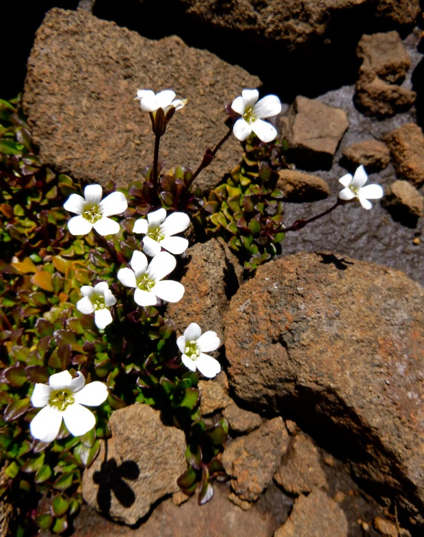 On towards Mount Blackwood.. flowers to smile at amongst the rocks