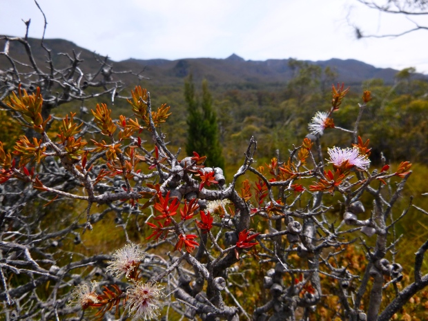 Boronia, Melaleuca.. lots of different flowers to get to know on this trip