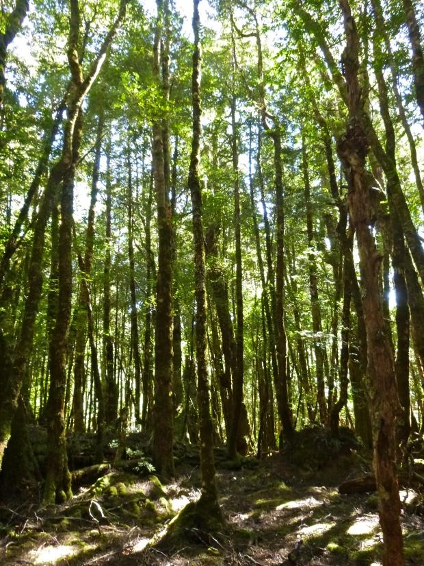Beautiful open forest walking
