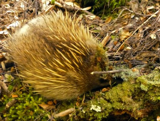 The young and active echidna on the Overland Track by Lake St Claire