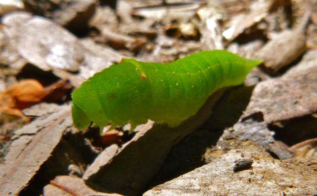 My translucent hungry little (big!) caterpillar