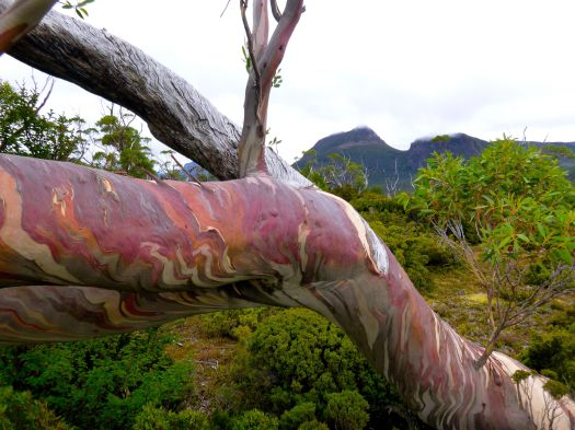 Snowgum colours on the Plateau, Gould in the background
