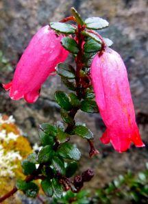 Pink mountain heath..
