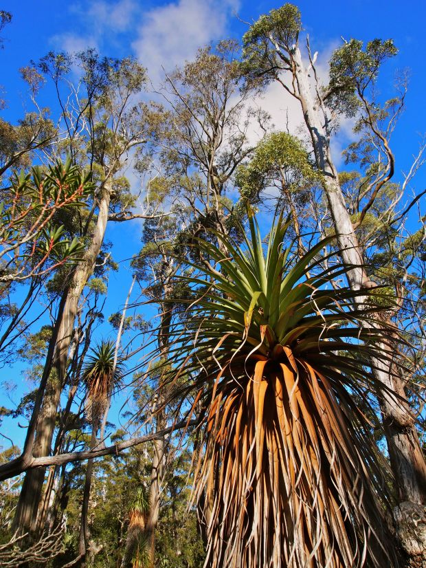 A bit of an opening on flatter ground before the final climb. Pandanis and eucalypts have us looking skywards.