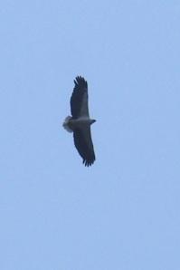 Sea eagle :D!!