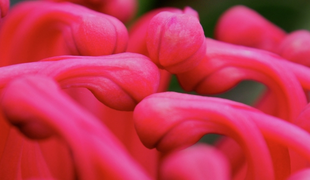 Conversing… with new waratah flowers