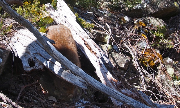 My wombat friend.. only a few metres away, just before he bolted.