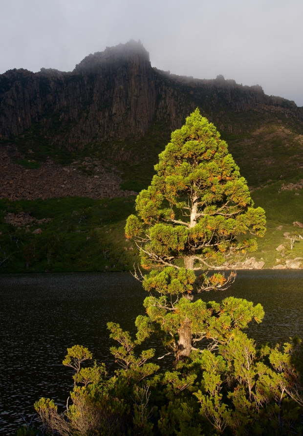 The sun lights up a pencil pine beside the lake